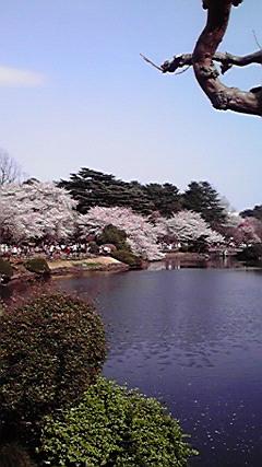 Cerezos de Shinjyuku, Japón 2011 2011年東京新宿の桜