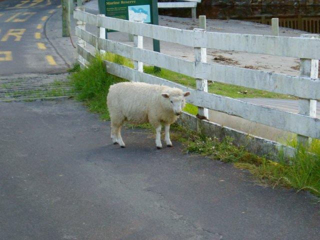 """Oveja san de la isla """"cabra"""" de Nueva Zelanda NZ山羊島の羊さん"""